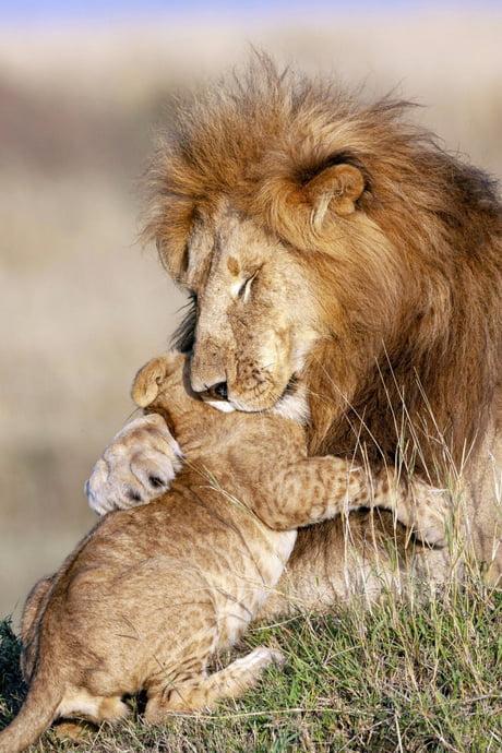 Consoling Lion Cub Imgur