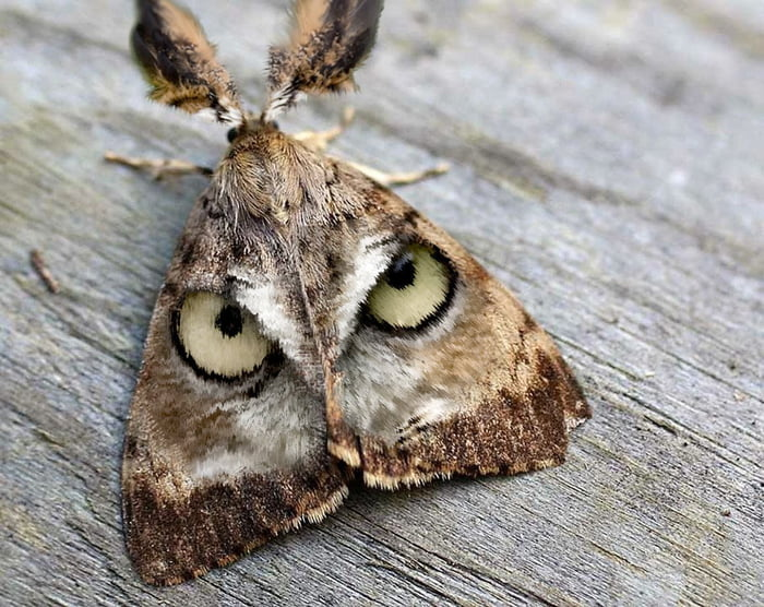 This moth looks like an owls face