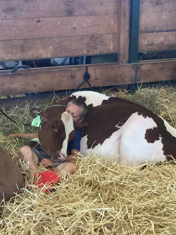 A boy and his cow napping at The Goshen Fair