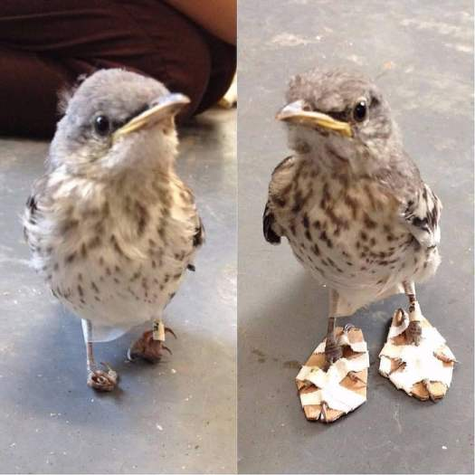 """Rescuers made this bird a pair of tiny """"snowshoes"""" to help her walk again."""