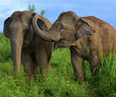 Asian_elephants web