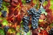 grapes website I.jpg