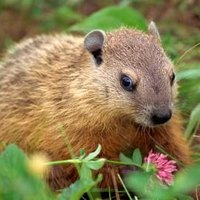 What Smells Do Woodchucks Hate Ehow