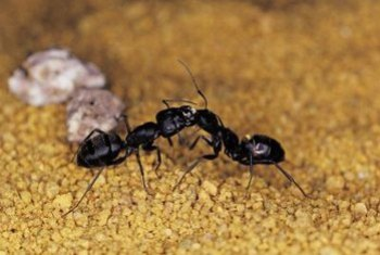 If You Know Someone Who Kills Ants For Pleasure Tell Them About These Species And Provide Another Reason To Not Kill Ants After All Karma Gets