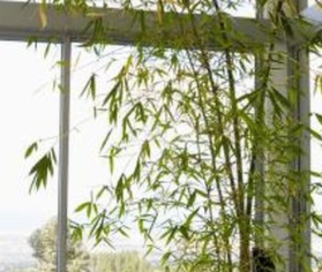 Bamboo Grown In Pots Tends To Grow Much Shorter Than Bamboo In The Ground