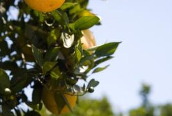 Can You Grow A Navel Orange Tree From A Cutting Home