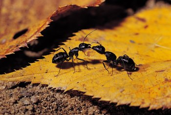 How To Get Rid Of Ants Complete Guide To Diy Natural Ant Treatments Carpenter