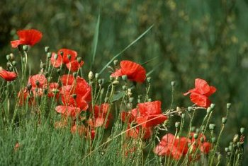 Is it Legal to Grow Poppy Flowers    Home Guides   SF Gate Poppies are legal to grow in the United States  except for papaver  somniferum