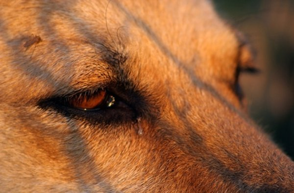 Clean Your Dog S Eye Discharge With A Few Simple Techniques