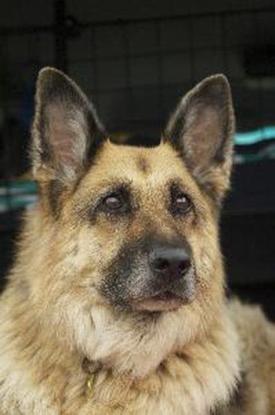 How To Clean A German Shepherds Ears Pets
