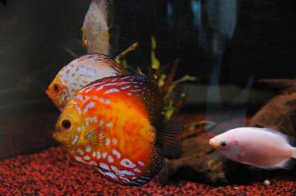 How To Feed Kissing Gourami Pets