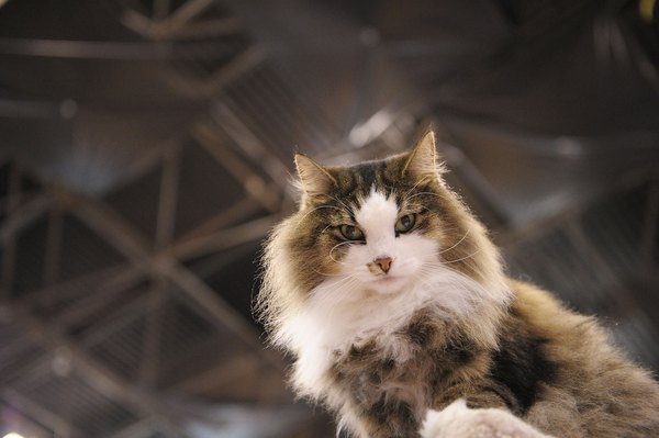 How To Tell A Norwegian Forest Cat From A Tabby Pets