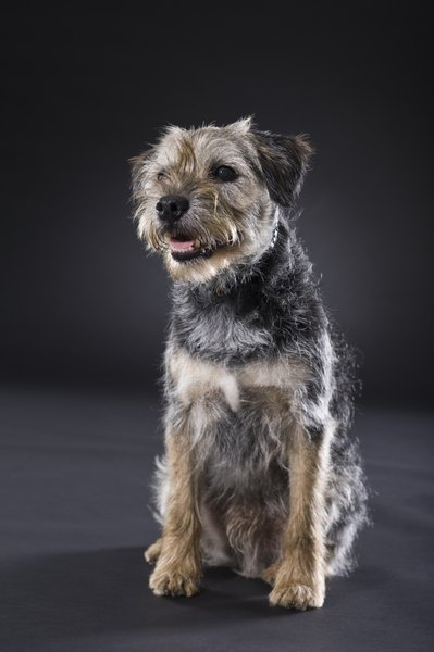 Can Border Terriers Be Raised With Cats Pets