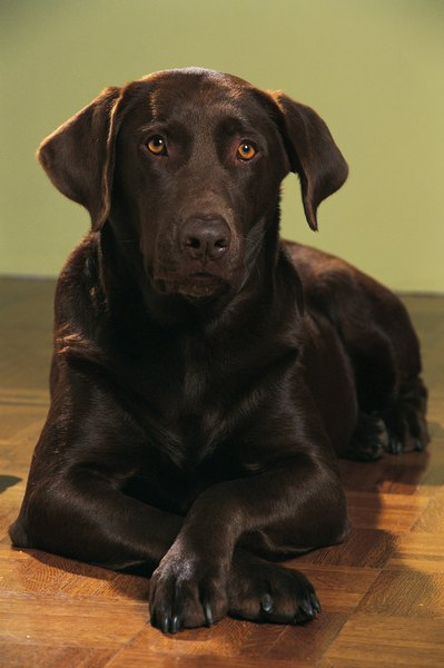 The History Of Chocolate Labradors Pets