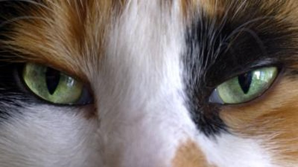Horners Syndrome Amp Dilated Pupils In Cats Pets