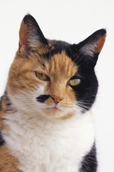 What Is A Diluted Calico Cat Pets