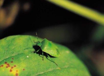 incomplete metamorphosis in Hemiptera