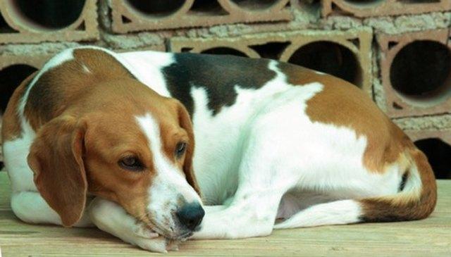 Do beagles shed fur