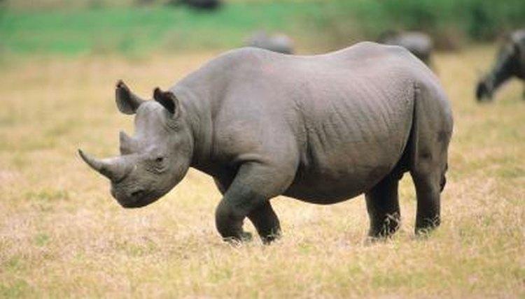 Bilderesultat for rhinoceros