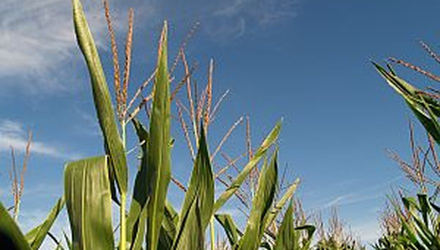 How To Plant Corn Seed