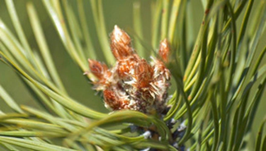 Pine Trees Needle 4