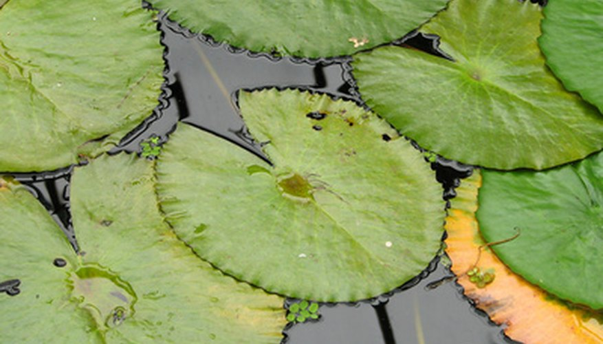 Cold Hardy Water Lilies