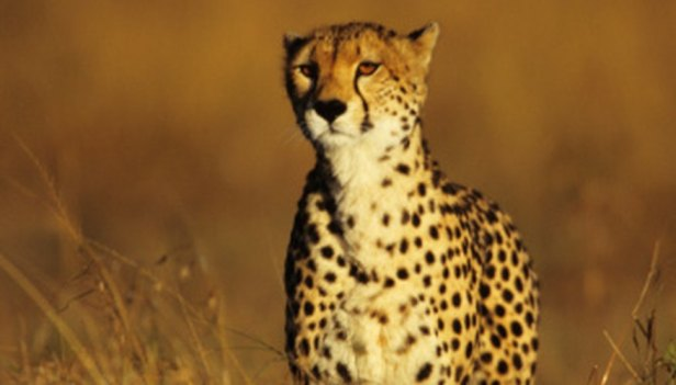 Image result for how did cheetah get its name