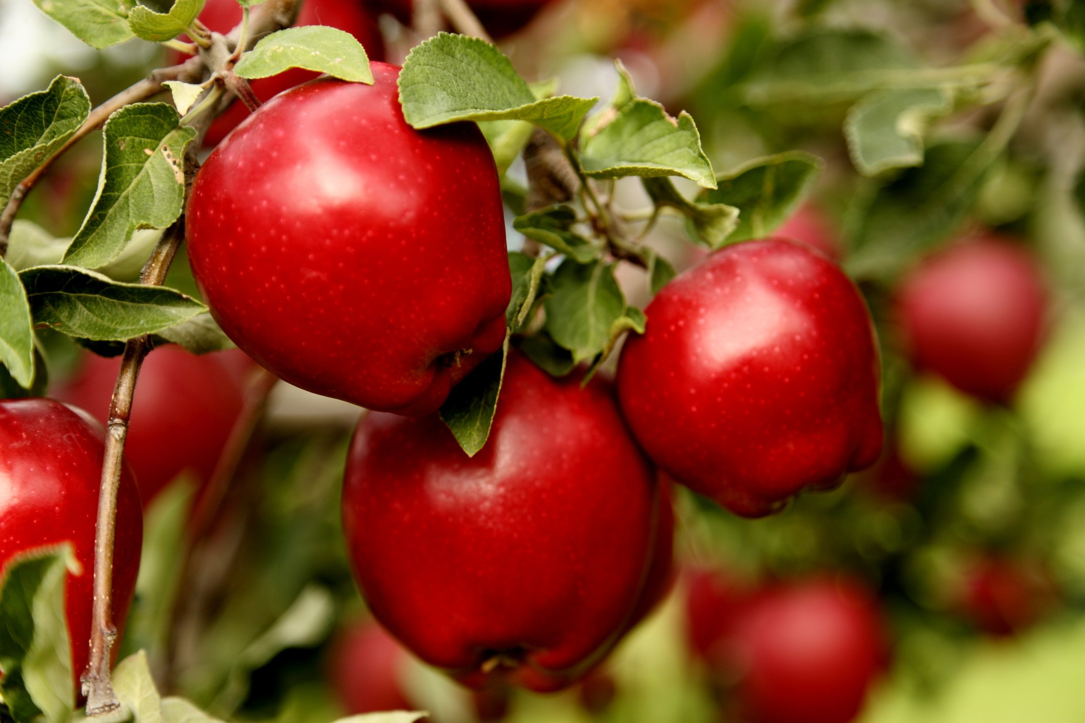 When Are Red Delicious Apples Ripe