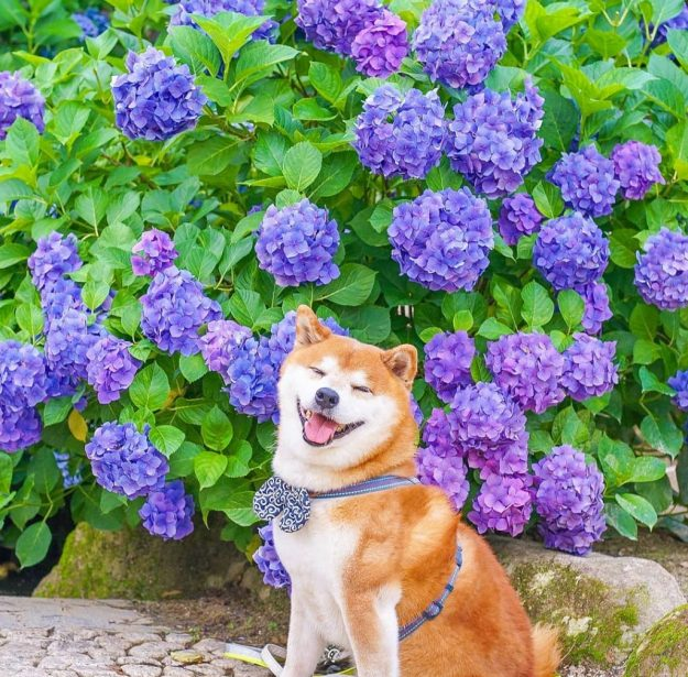 The Happiest Shiba Inu On Instagram #15 | Brain Berries