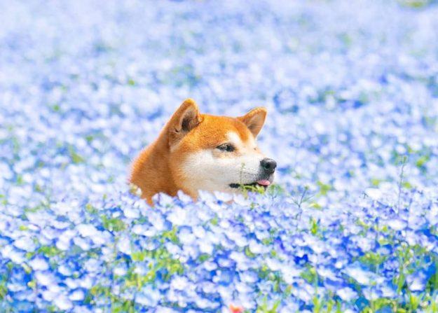 Instagram上最快乐的柴犬! | 脑浆果