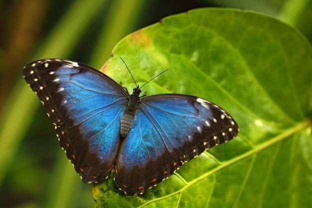 The Blue Morpho | The 7 Most Beautiful Butterflies In The World | BrainBerries