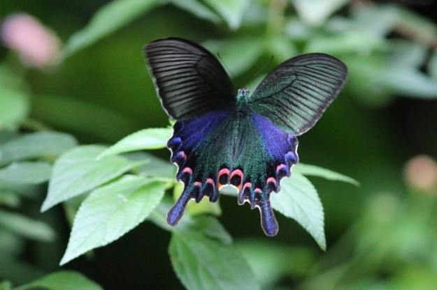 Peacock Swallowtail | The 7 Most Beautiful Butterflies In The World | BrainBerries