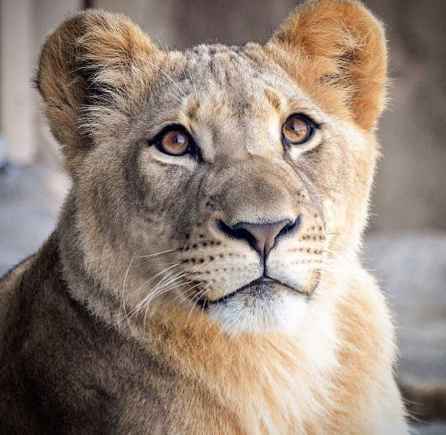 Bahati is 2 years old | Disney's Live-Action Simba Was Based on the Cutest Lion Cub Ever! | Brain berries