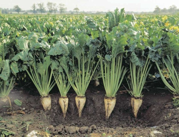 Sugar Beets | 6 Common Genetically Modified Foods | Brain Berries