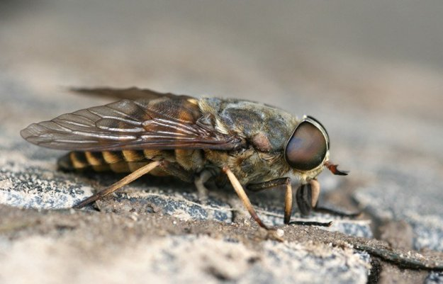 Bot Flies | The Deadliest Insects In The World | Brain Berries