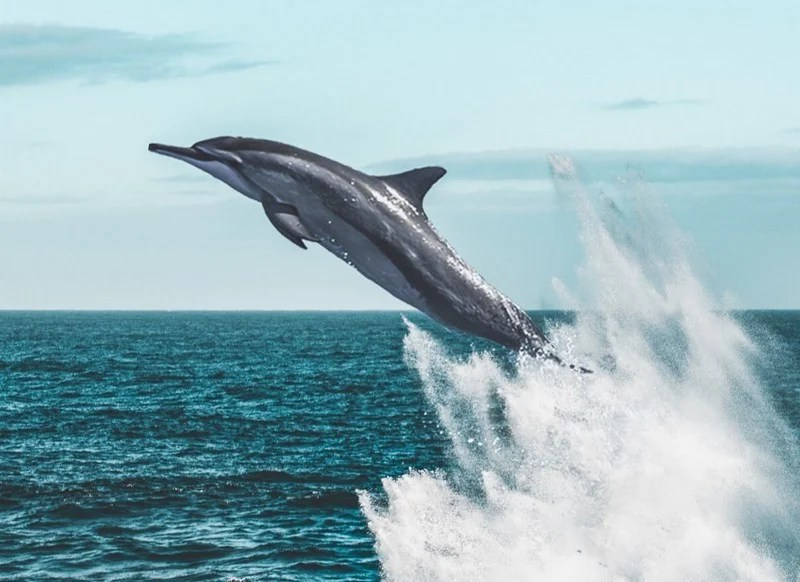 Dolphins Are Smarter | 6 Reasons Sharks Are Afraid of Dolphins | Brain Berries