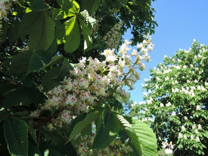 Сиреневый сад. Цветущий каштан.