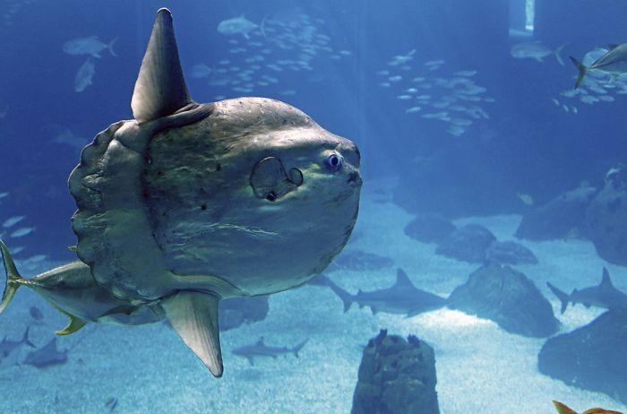 Рыба-луна. Может иметь длину более 3 м, а весить около 1,5 т