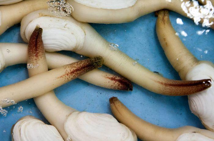 Гуйдак — крупный брюхоногий моллюск весом до 1,5 кг
