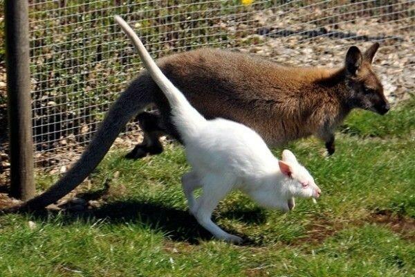 Как в Америке маленького кенгуру украли из сумки матери