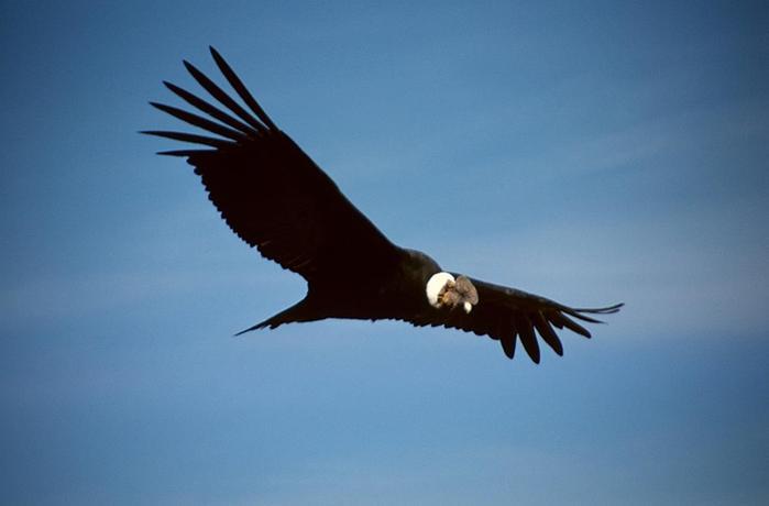 Кондор из Анд, одна из самых крупных летающих птиц в мире