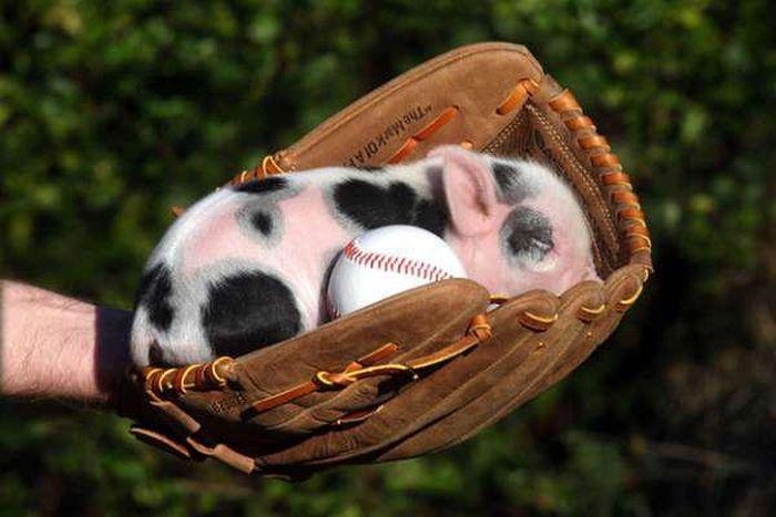 Смешные фотографии поросят и свиней