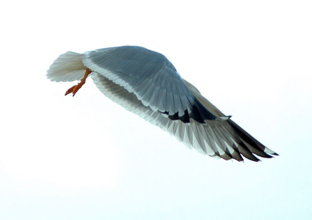 Морские птицы Хоакима Оливейры (Joaquim Oliveira)