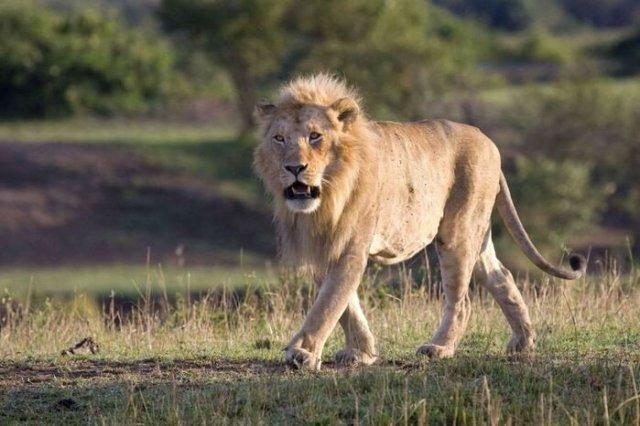 Как львицы льву наваляли