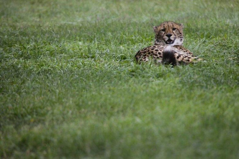 Зингала, молодой гепард в парке Кандерры