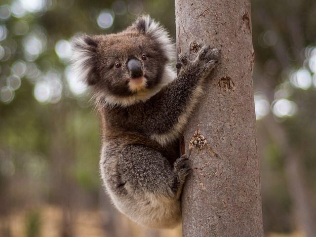Как выглядит мокрый коала: забавные фотографии