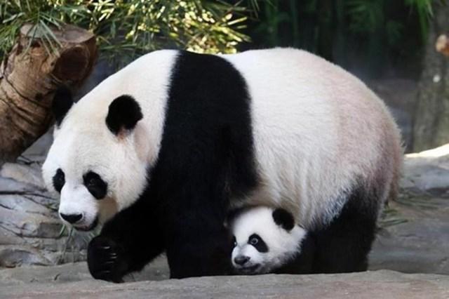Как панда покусала китайца, который подал в суд