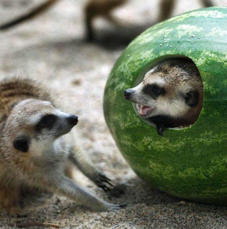 Арбузики и животные