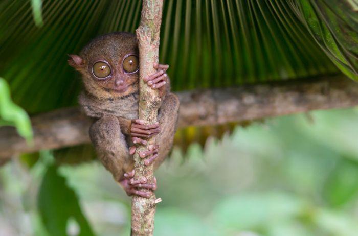 Долгопят, отряд приматы. На родине, в Индонезии, местное население их страшно боялось: еще бы, лупоглазые обезьянки умели вращать головой на 360°. Индонезийцы боялись сталкиваться с ними, так как верили, что с людьми в этом случае может приключиться то же самое