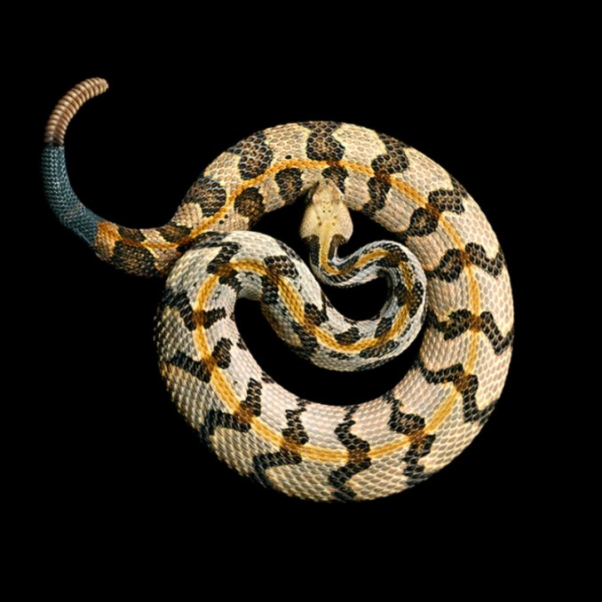 Serpentine: серия великолепных портретов самых смертельно опасных змей